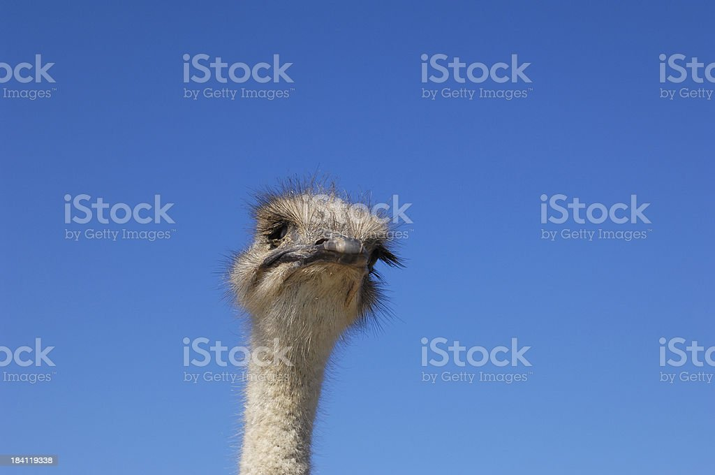 Close-up Head Shot of One Ostrich royalty-free stock photo