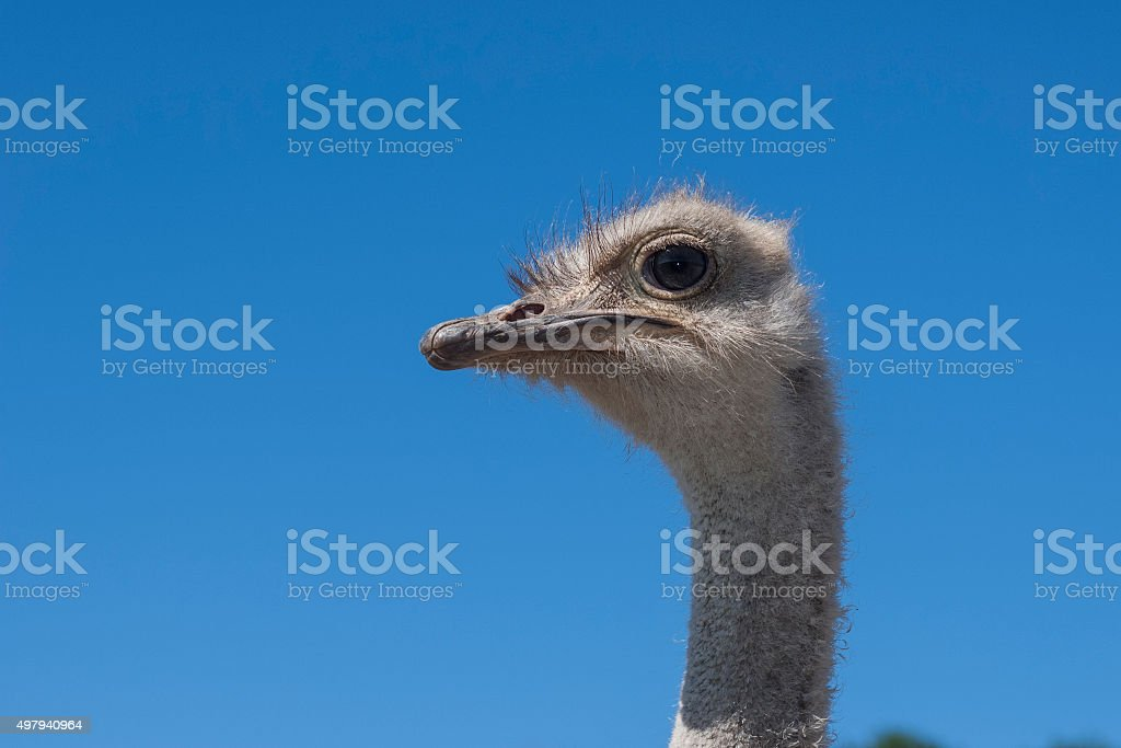 Close-up Head Shot of One Ostrich stock photo