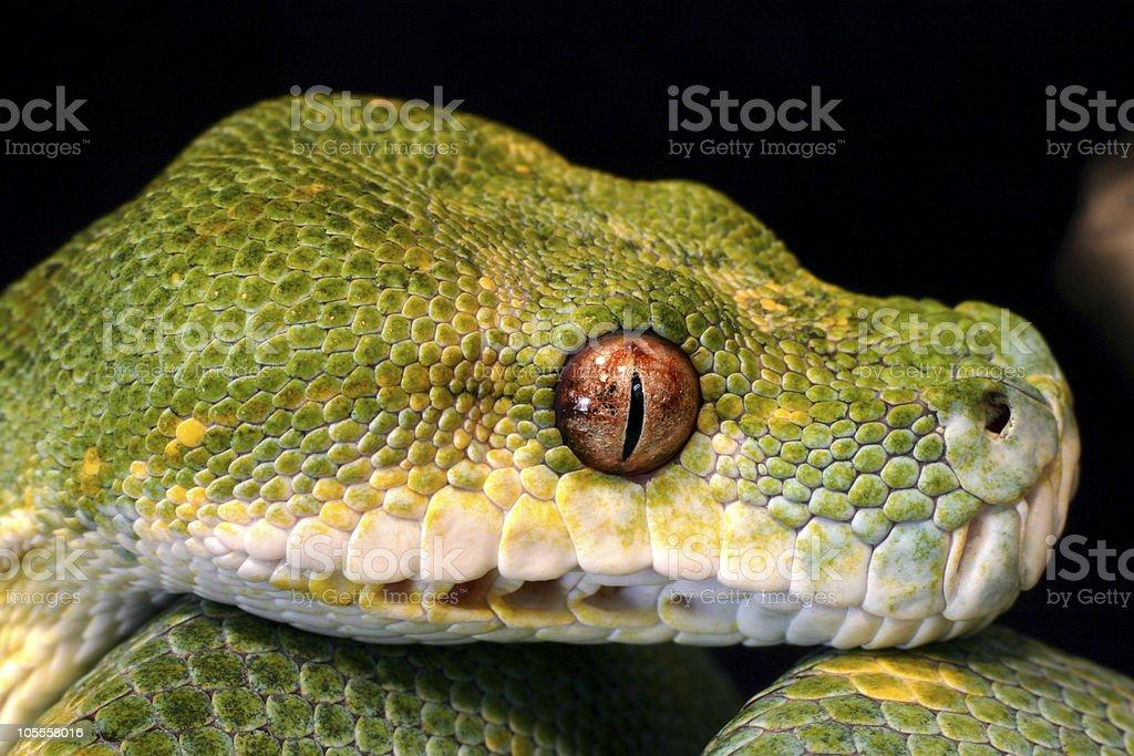 Closeup Headshot Green Tree Python royalty-free stock photo
