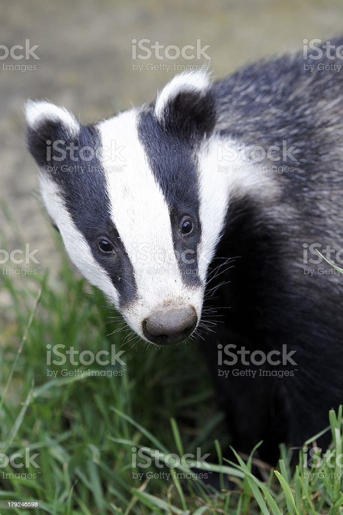 Closeup headshot of a Meles Badger stock photo