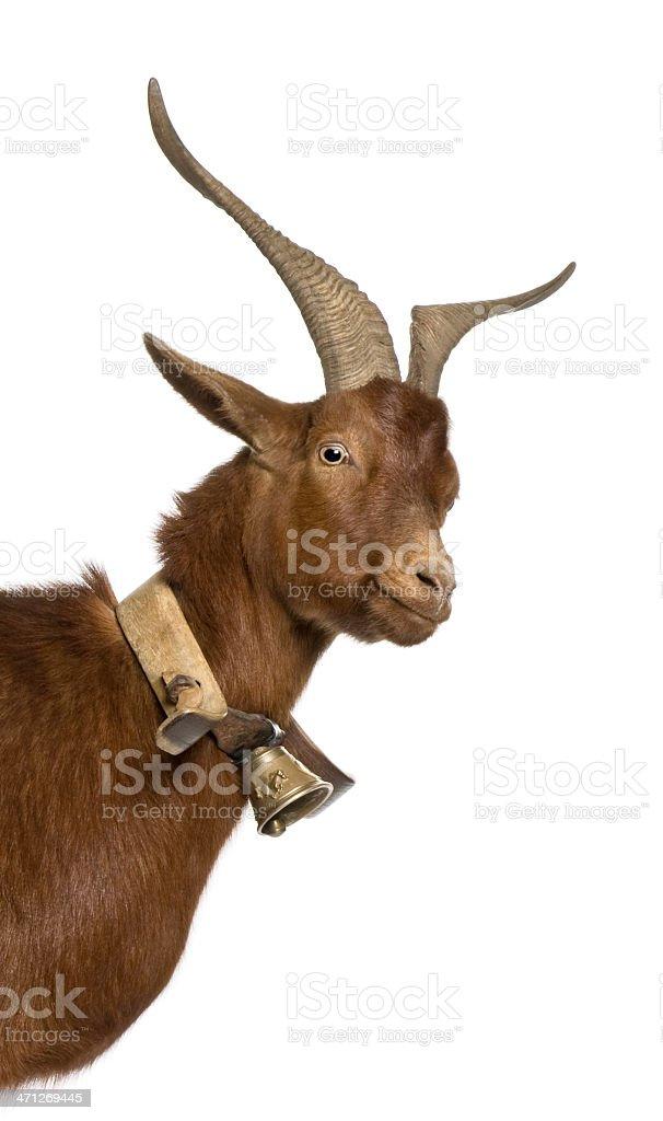 Close-up headshot of Rove goat, 4 years old. stock photo