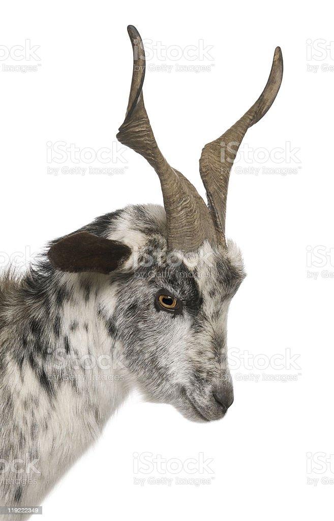 Close-up headshot of Rove goat, 6 years old. stock photo