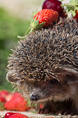 closeup hedgehog  with cherry and strawberry on thorns