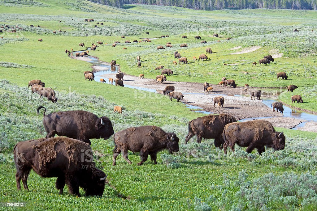 Closeup herd of Bison covering a field in Yellowstone. stock photo