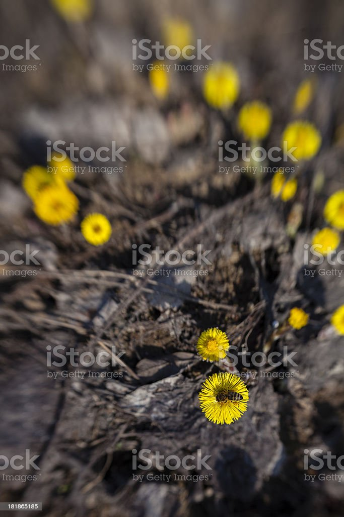 close-up honey bee on the yellow coltsfoot flower royalty-free stock photo