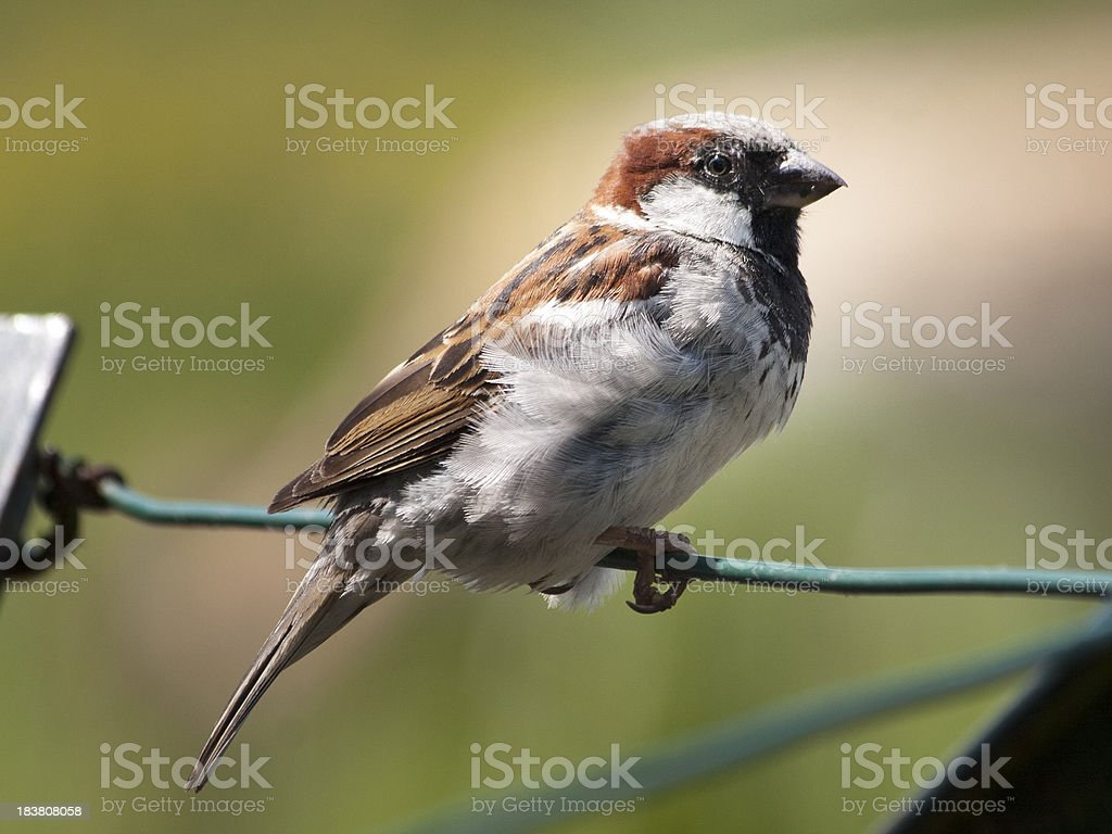 Close-up: House Sparrow sitting on a wire fence royalty-free stock photo
