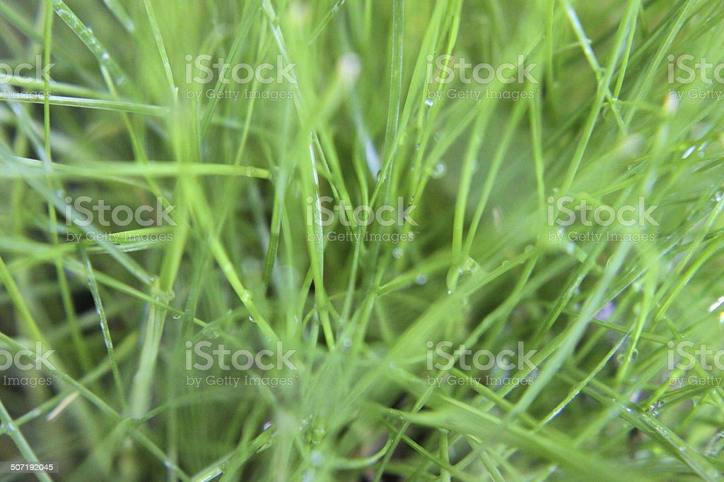 Close-up image, fine green lawn grass with morning dew drops stock photo