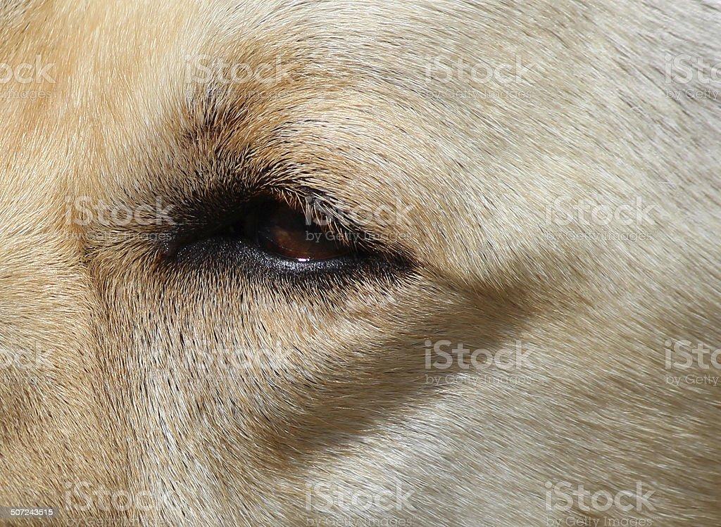 Close-up image, Golden Labrador eye, face, fur / Golden Retriever dog stock photo