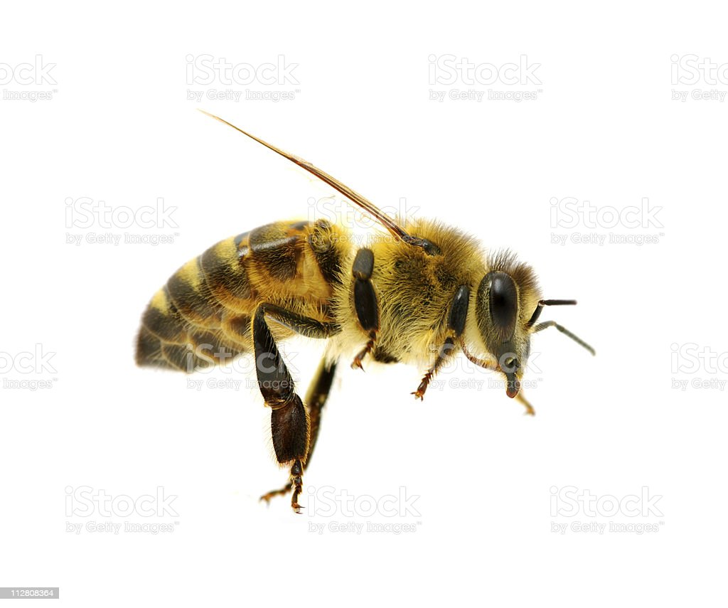 A close-up image of a bee isolated on a white background royalty-free stock photo