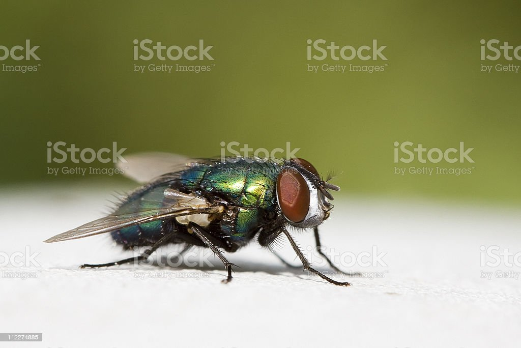 A close-up image of a common house fly stock photo
