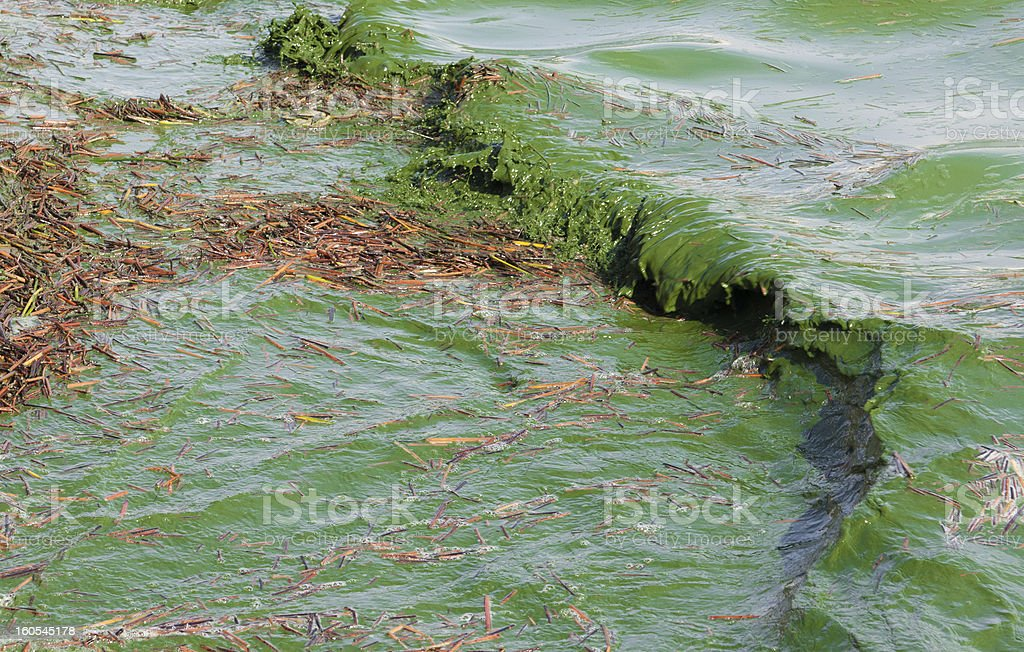 Close-up image of a harmful algal bloom stock photo