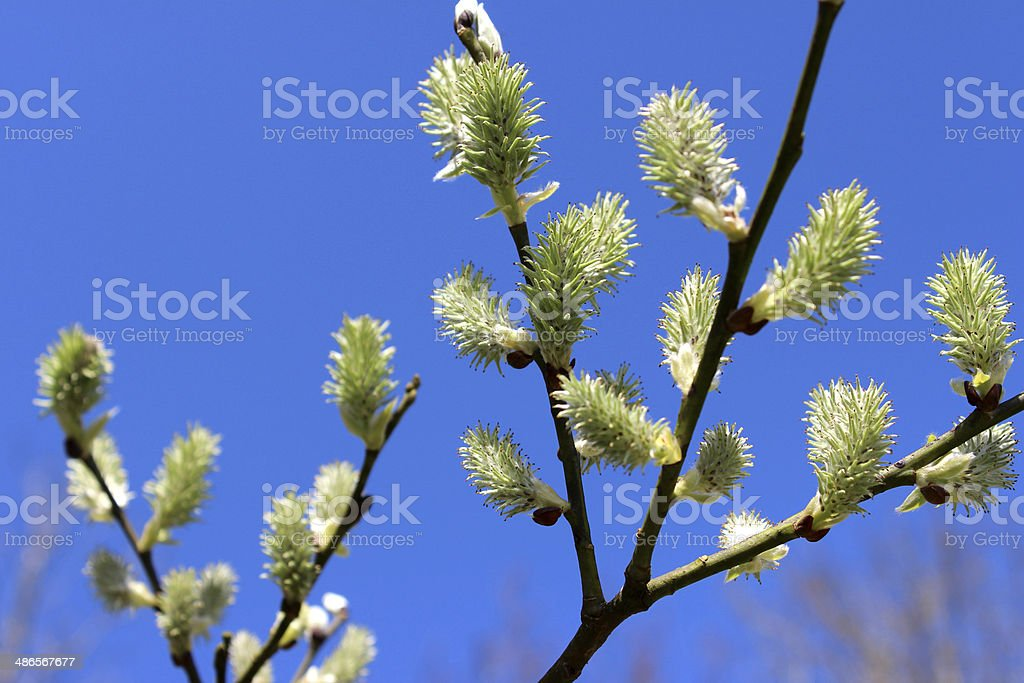 Close-up image of female catkins of Salix caprea (goat willow) stock photo