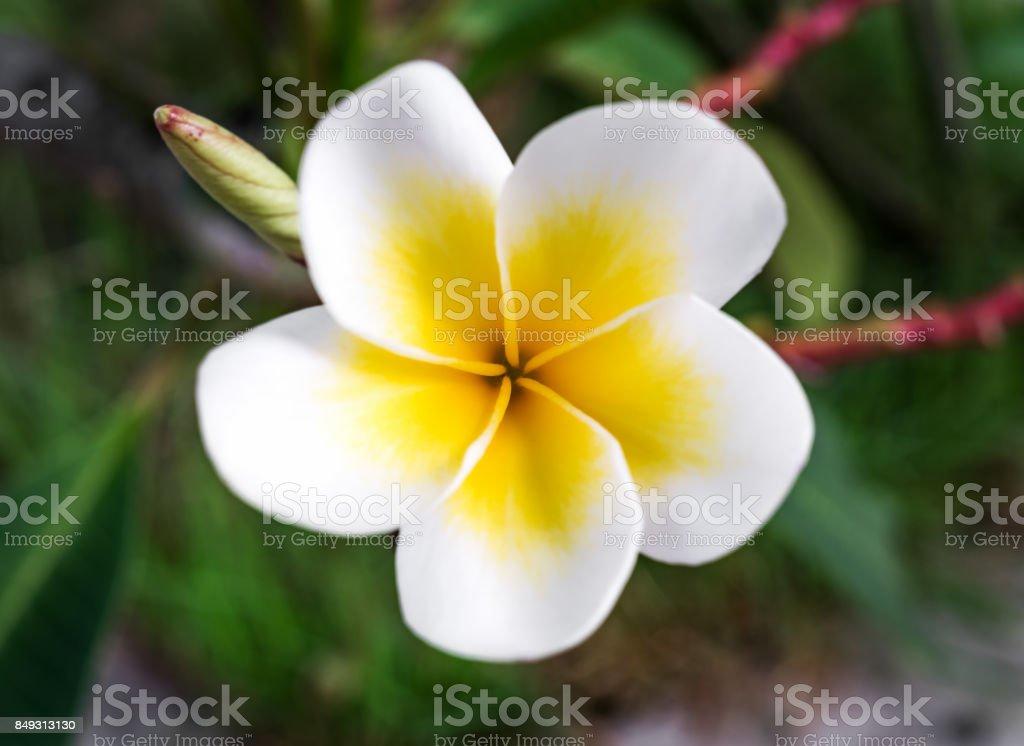 Close-up image of Frangipani flower stock photo
