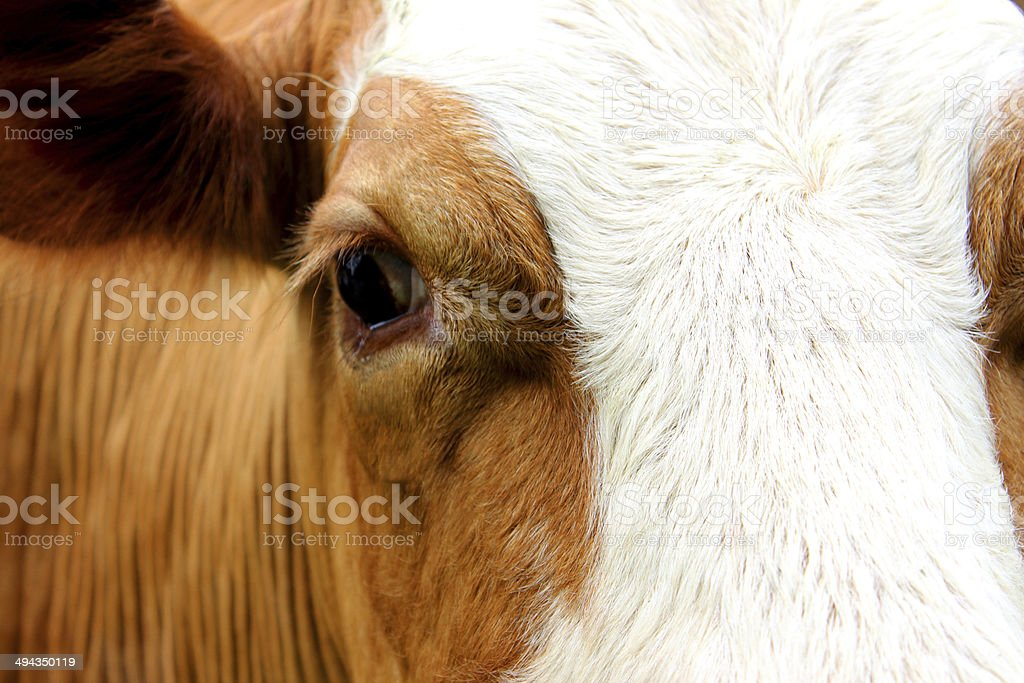 Close-up image of Guernsey cow head, fawn and white, eye stock photo