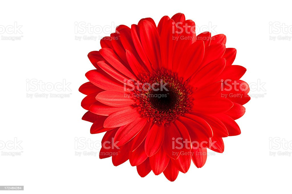 Close-up image of isolated red gerbera daisy XXXL on white royalty-free stock photo