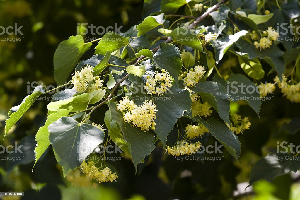 Close-up image of Linden tree blossoms on a branch stock photo