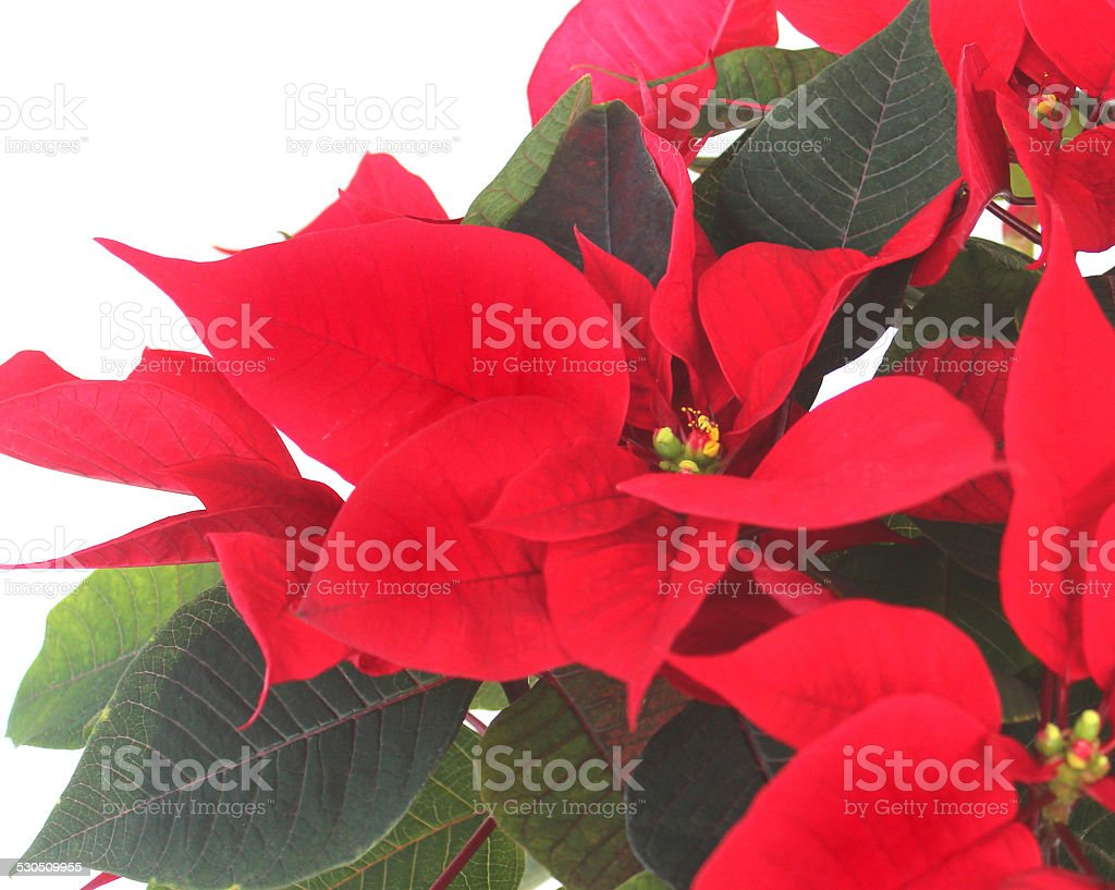 Close-up image of poinsettia plant (Euphorbia pulcherrima), red bracts stock photo