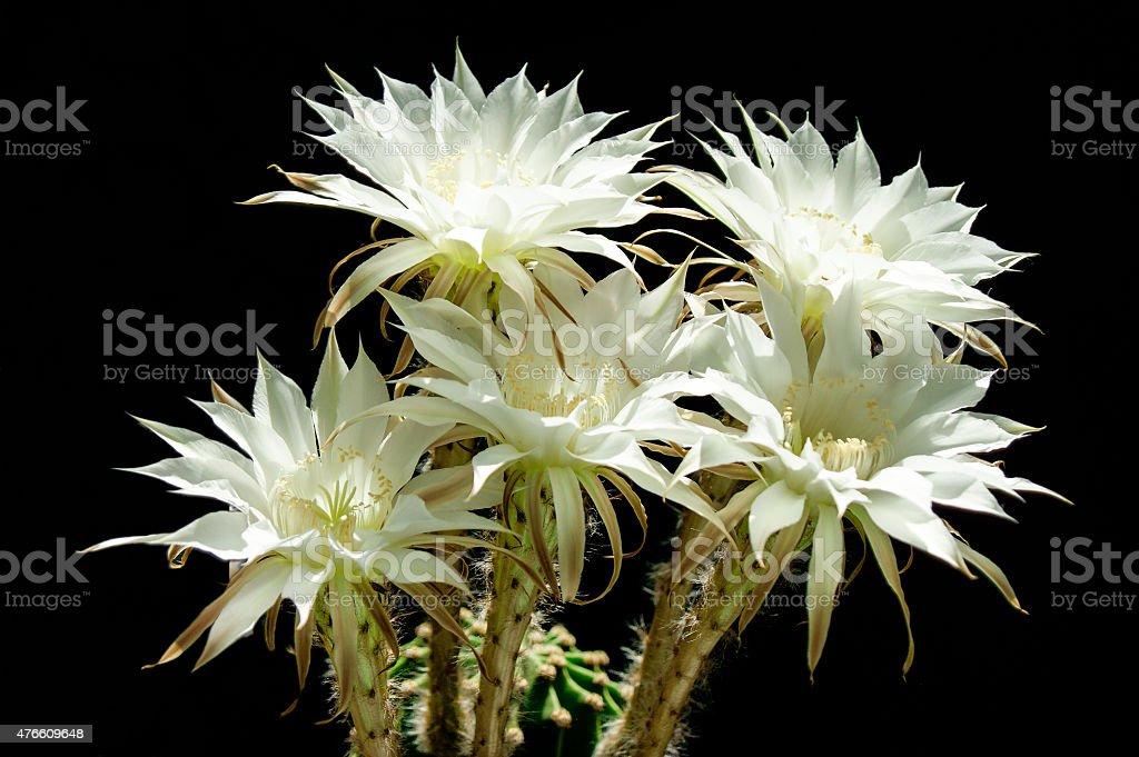 Close-up image of rare intense flowering cactus on black background stock photo