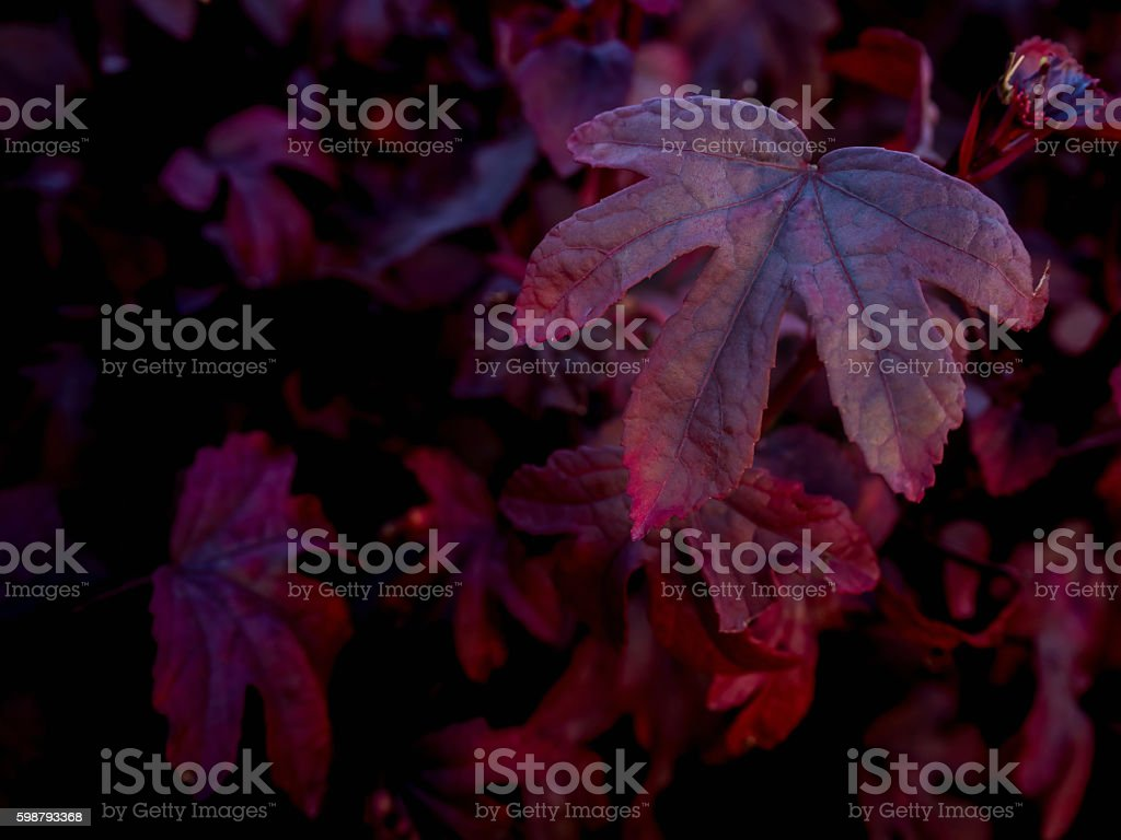 Close-up image of red five leaf lobes stock photo
