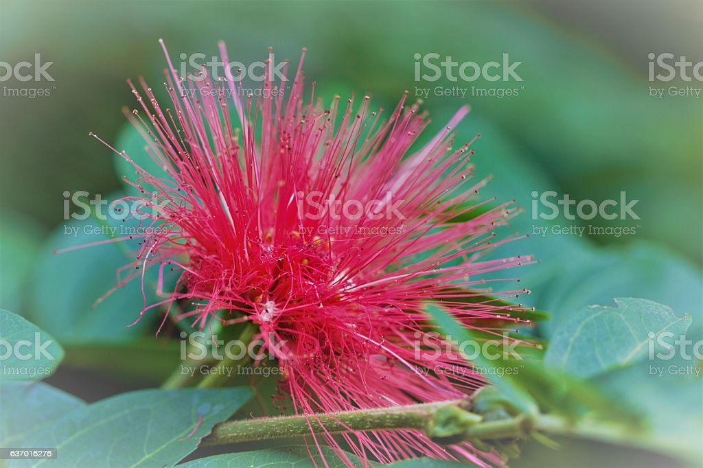Closeup image of red powderpuff flower calliandra haeatocephala stock photo