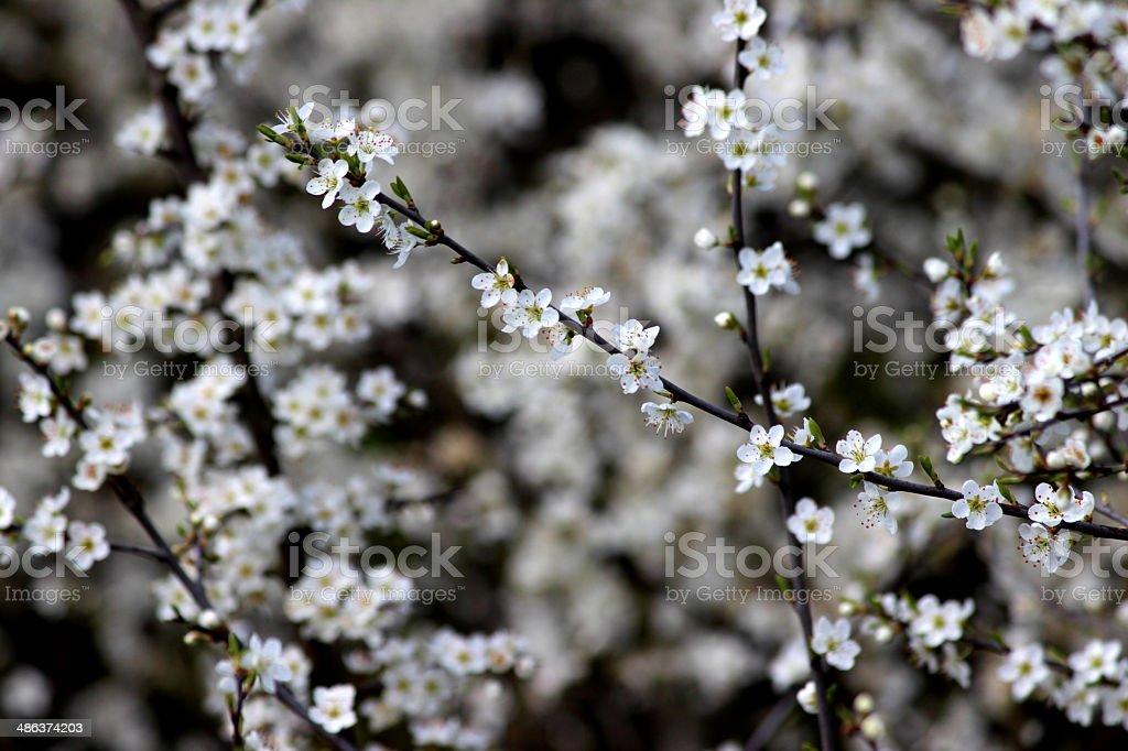 Close-up image of Sloe (Prunus spinosa) flowers stock photo