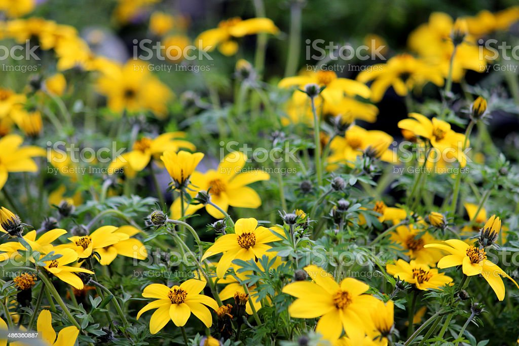 Close-up image of the yellow flowers of Tagetes marigold stock photo