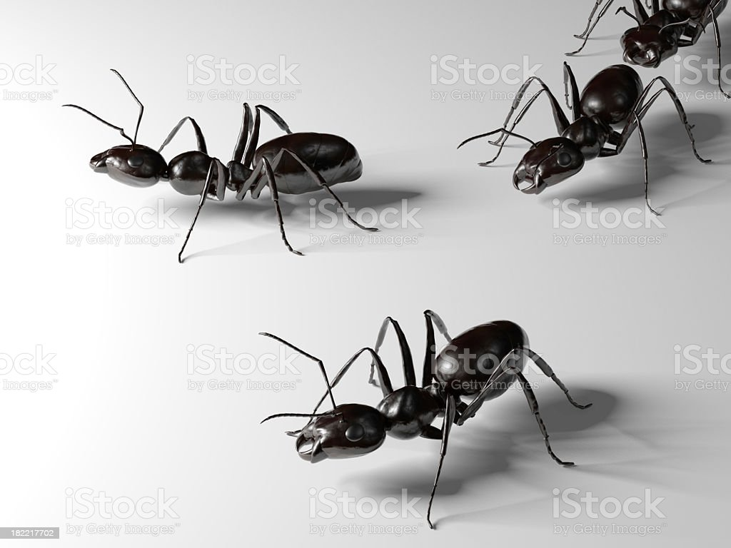 A close-up image of three ants on a white background royalty-free stock photo