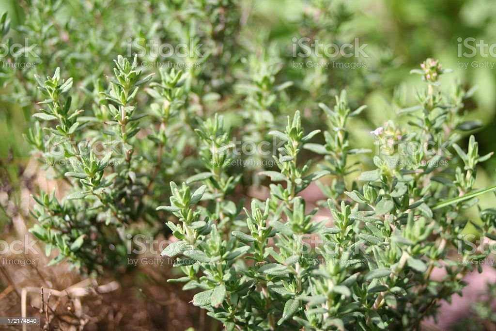 Close-up image of thyme plants in a garden stock photo