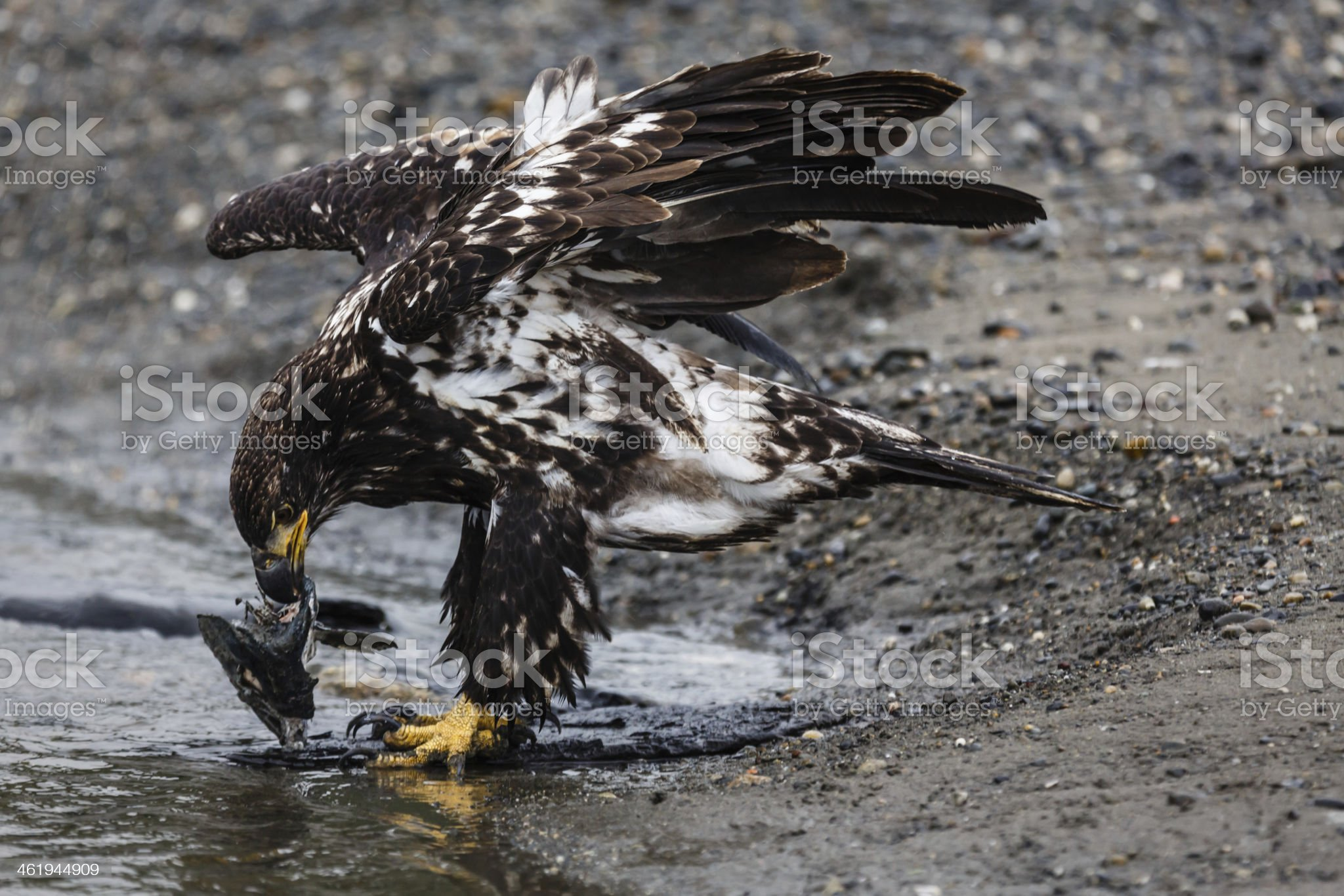 Close-up immature bald eagle eating a salmon royalty-free stock photo