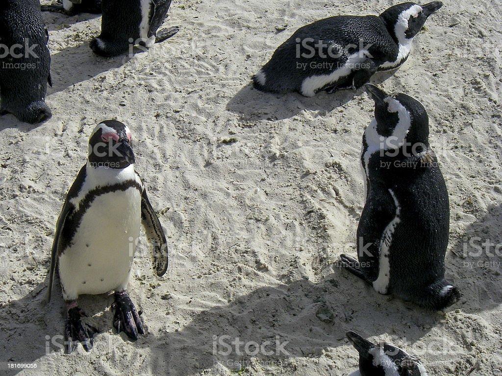 Closeup Jackass Penguins Simons Town South Africa royalty-free stock photo