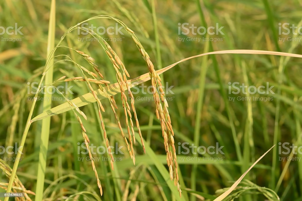 closeup Jasmine rice seeds in the paddy field stock photo