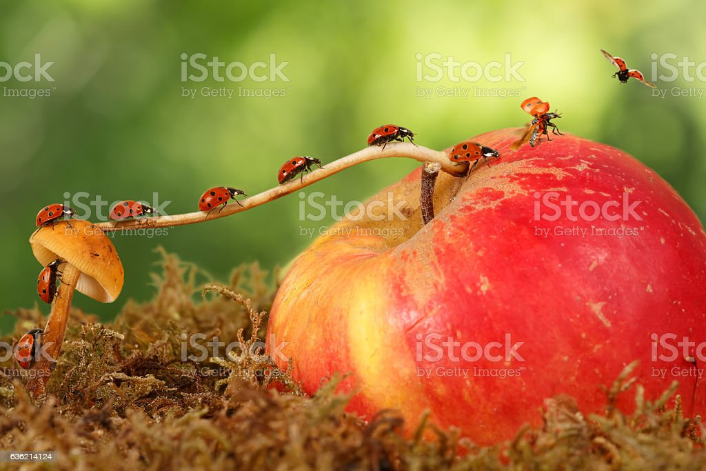 closeup ladybugs moves from mushroom on apple to fly away stock photo