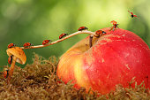 closeup ladybugs moves from mushroom on apple to fly away