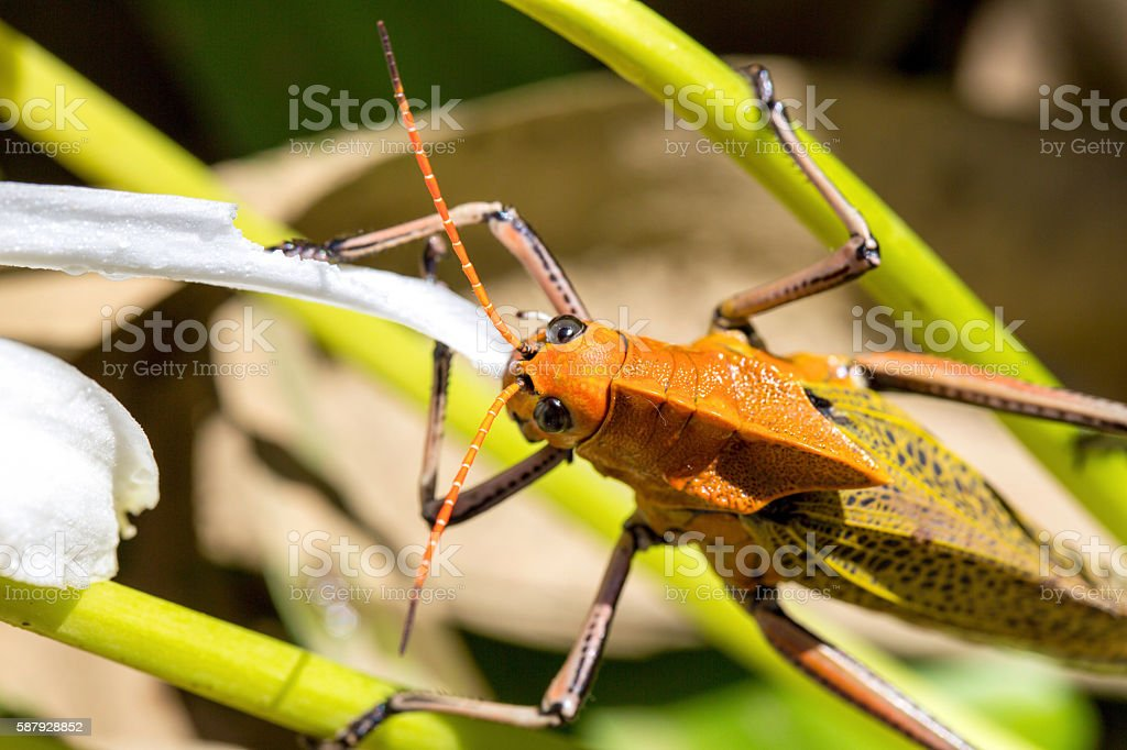 close-up Large Grasshopper with Orange head, sitting on leaf stock photo
