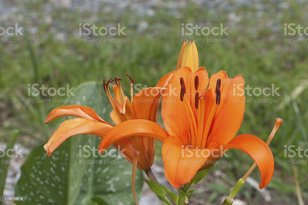 Closeup Large Orange Lily Flower royalty-free stock photo
