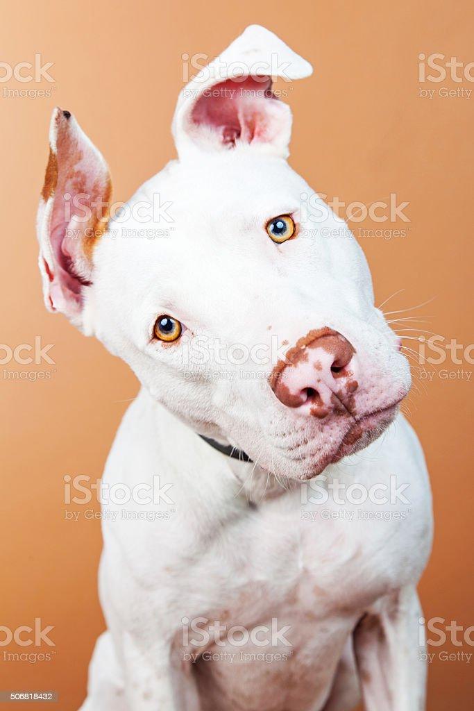 Closeup Large White Dog Tilting Head stock photo