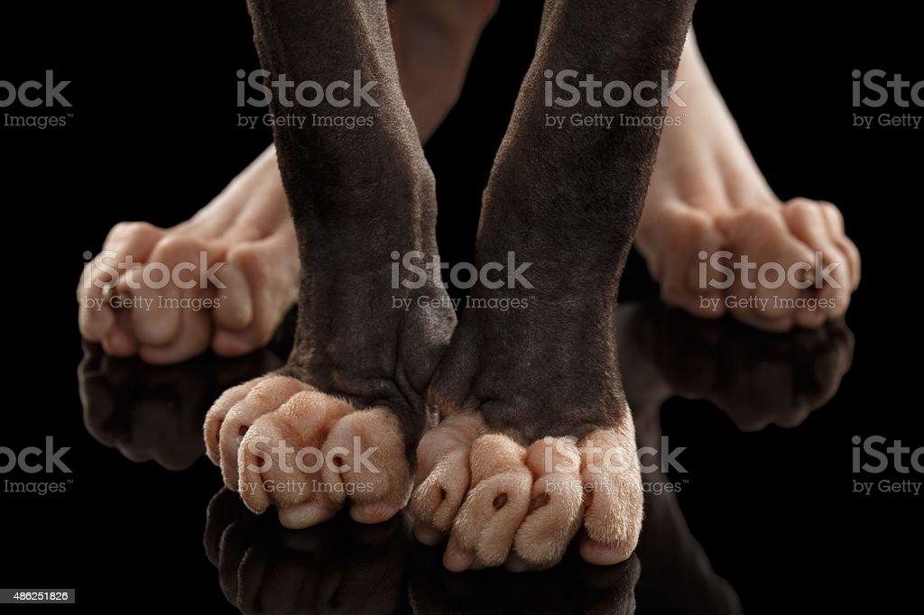Closeup  Legs Sphynx Cat Standing on Black stock photo