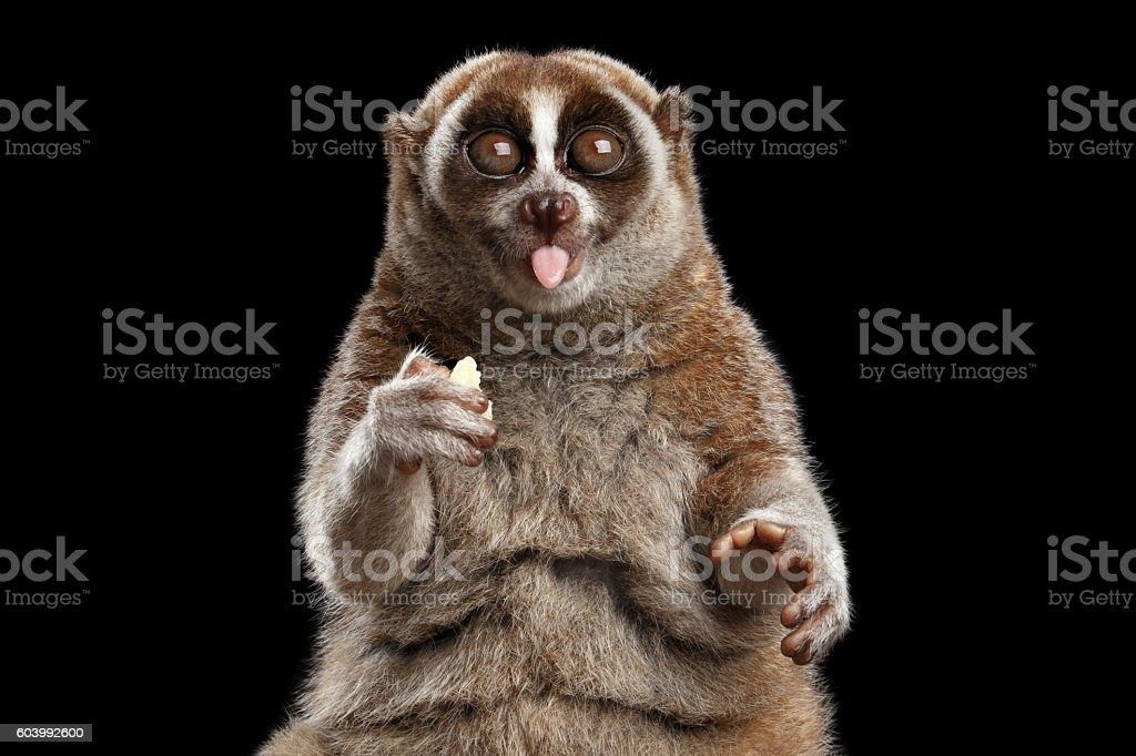 Close-up Lemur Slow Loris Isolated Black background stock photo