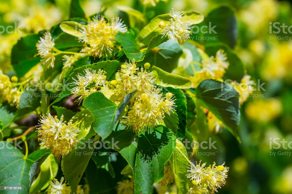 closeup linden tree branch in a blossom stock photo