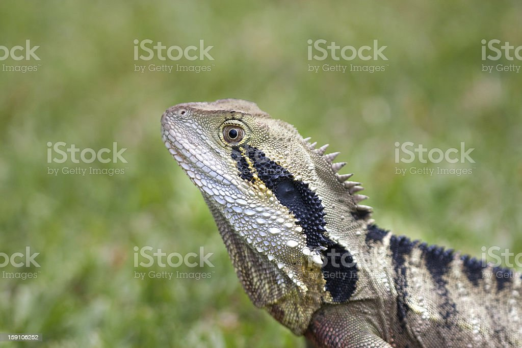 Closeup Lizard stock photo