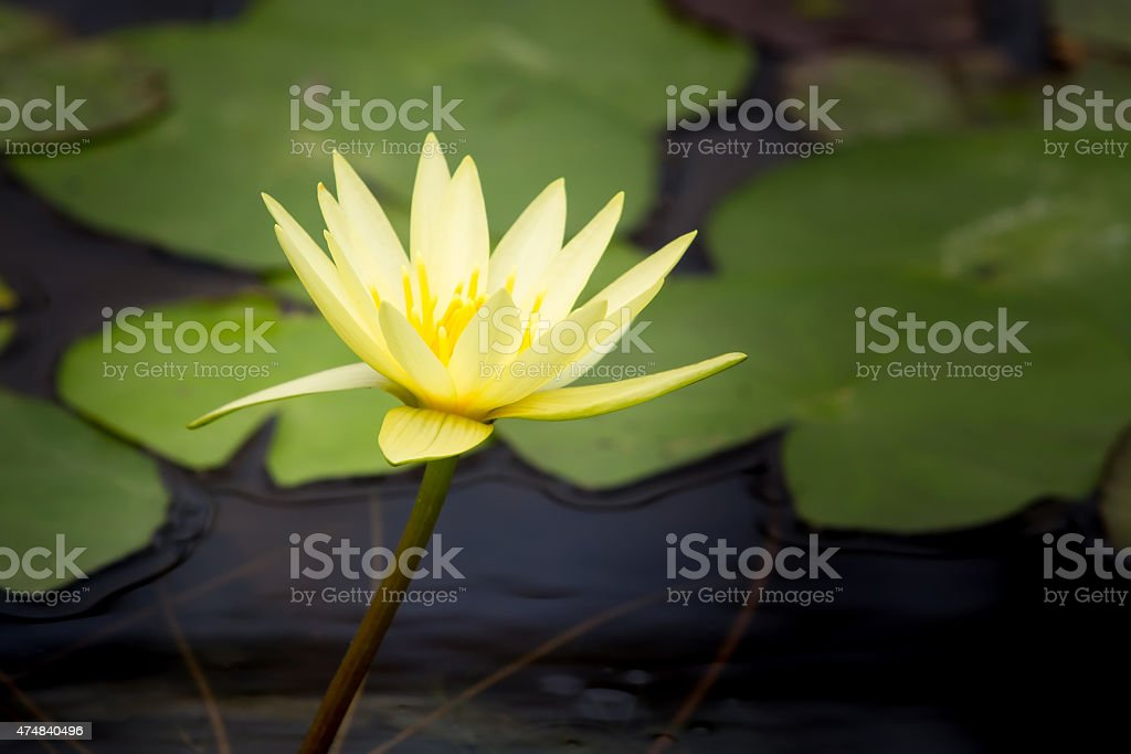 Closeup Lotus flower royalty-free stock photo
