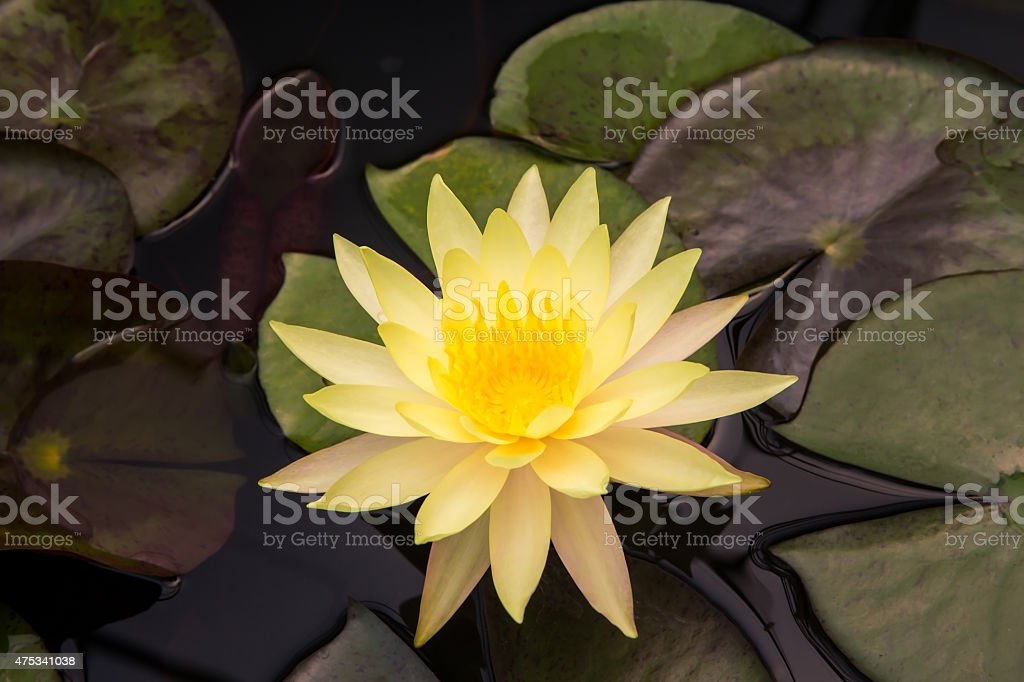 Closeup Lotus flower royalty-free stock photo