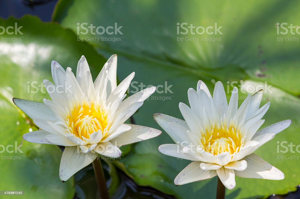 Closeup Lotus flower,water lily royalty-free stock photo