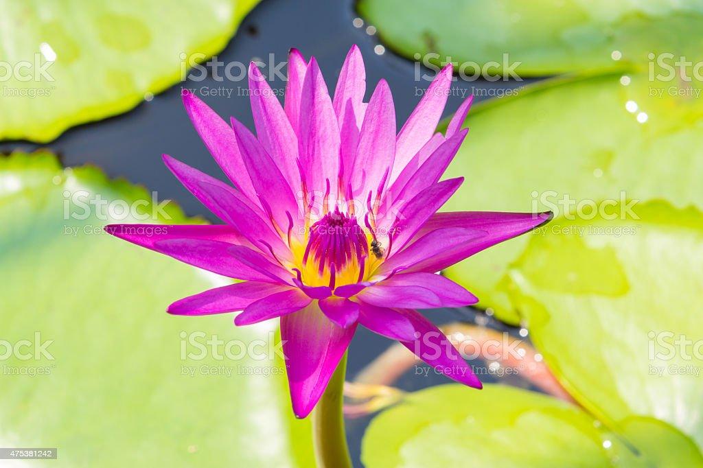 Closeup Lotus flower,water lily royalty-free stock photo