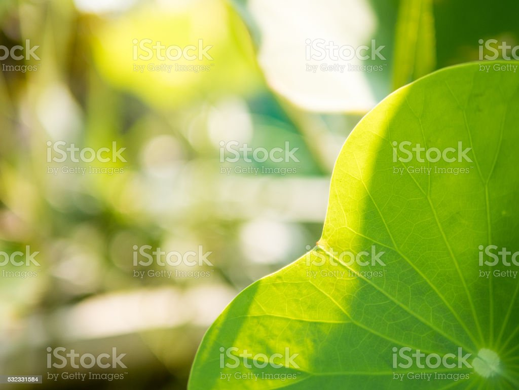 close-up lotus leaf stock photo