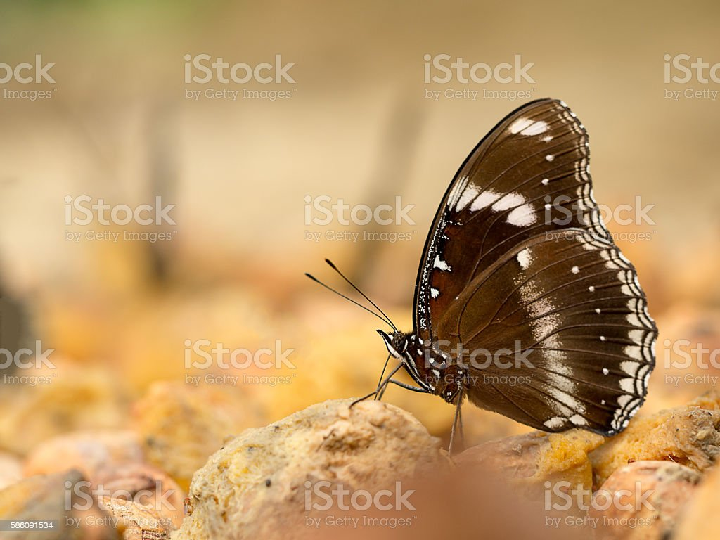 Closeup macro butterfly eating food in jungle beauty of nature stock photo