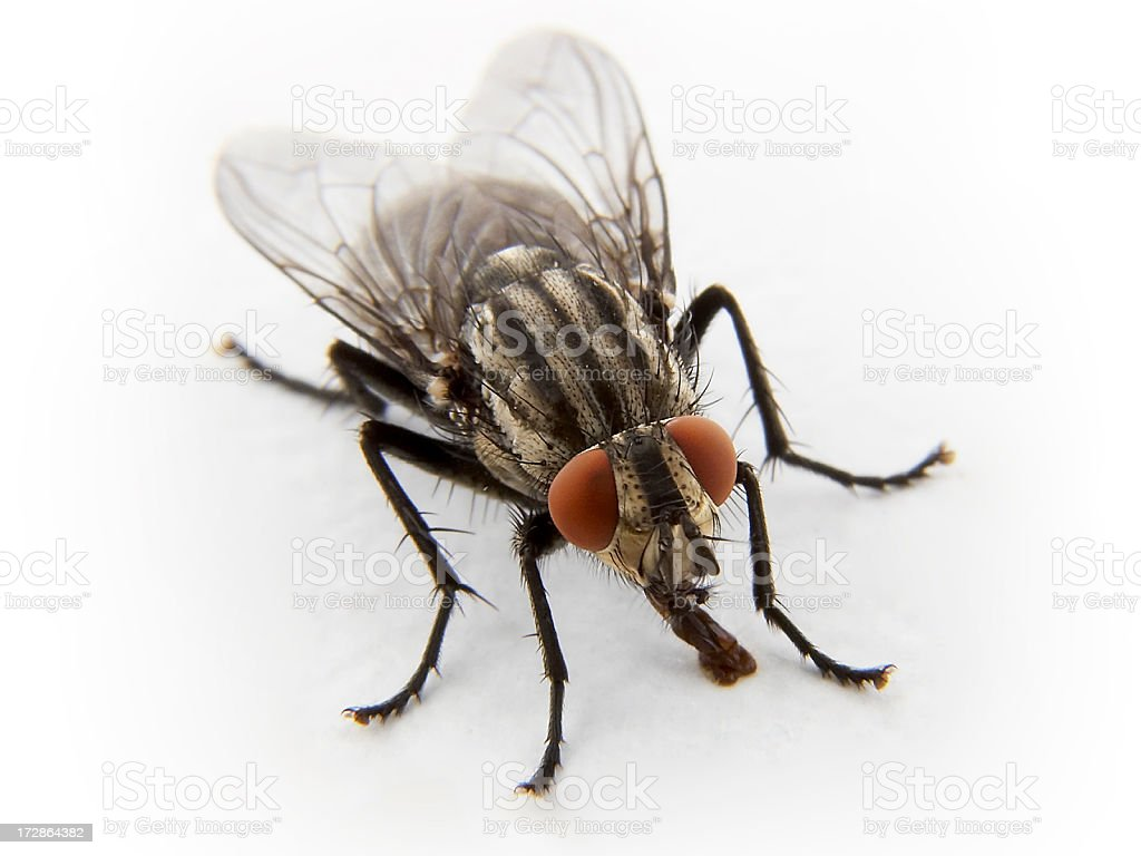 Close-up Macro: Housefly isolated on White, with copy space stock photo