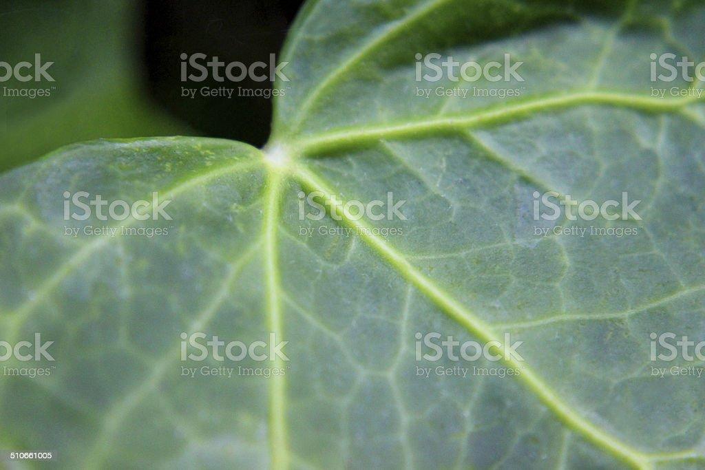 Close-up macro image of common English ivy leaf (hedera helix) stock photo