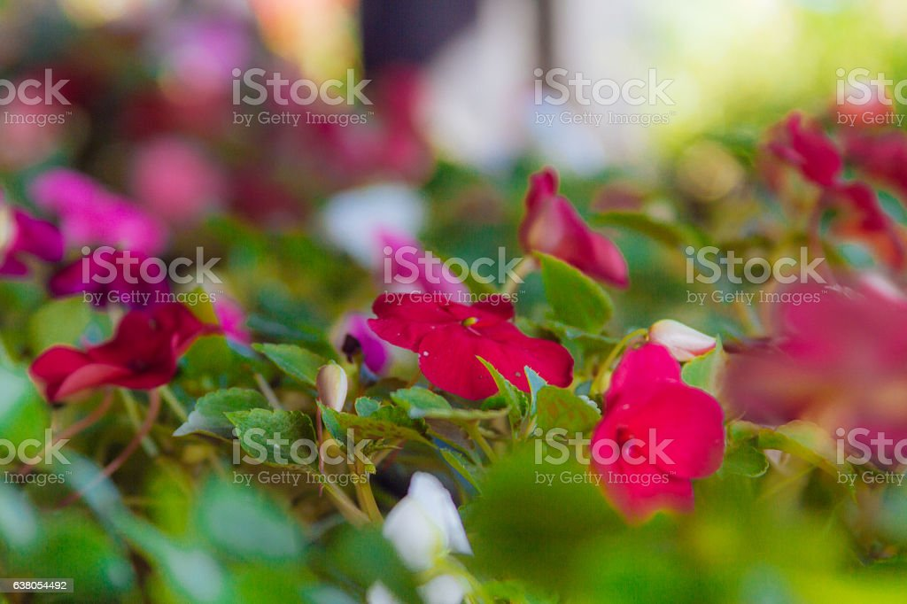 Close-up macro of red busy lizzy flowers in a garden stock photo