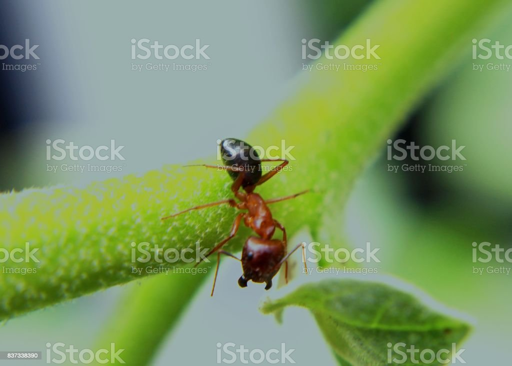 close-up - macro - view of an weaver ant - insect - on a green leaf in a home garden in Sri Lanka stock photo